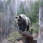 Un pui de urs, vedeta la Zoo Ramnicu Valcea