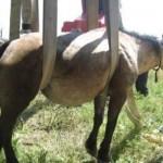 Cal salvat cu furtunul