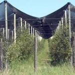 Loturi experimentale de plantatii cu meri