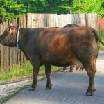 I-au furat vaca din grajd