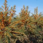 La Rosiile doi investitori au infiintat plantatii de catina